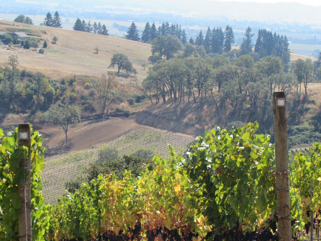 Momtazi Vineyard harvest 2014.Kelley Fox